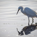 Fragile aigrette